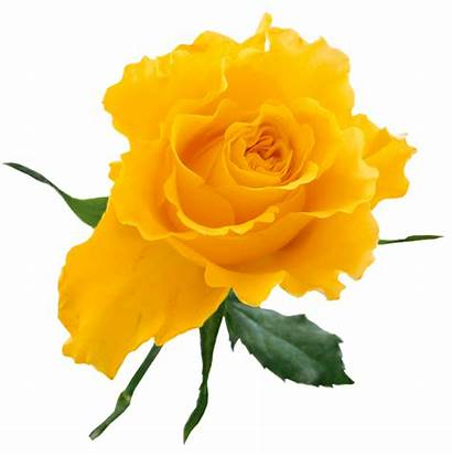 Yellow Rose Transparent Clipart Clip Roses Flowers