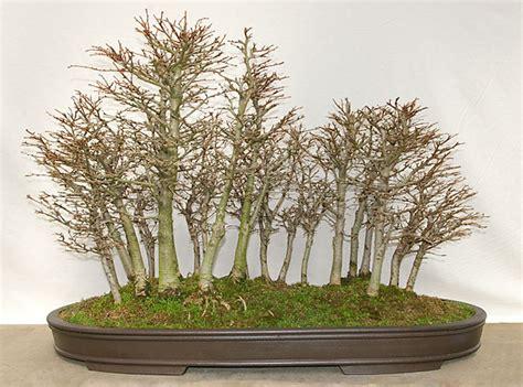 bonsai umtopfen anleitung bonsai interessant bonsai anleitung auf ficus schneiden home decor and design interessant