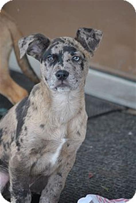Webster Mn Catahoula Leopard Dog Meet Blake Shelton A Dog For Adoption
