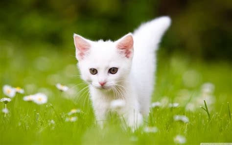 Kitten Backgrounds by Kitten Pictures Wallpaper 60 Images