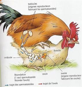 Couveuse Oeuf De Poule : jambe de poule et cuisse de cochon bridget la poule couveuse ~ Premium-room.com Idées de Décoration