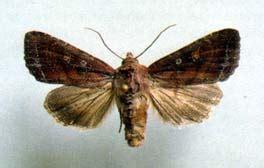 http://www.pherobase.com/database/species/species-Mamestra-oleracea.php