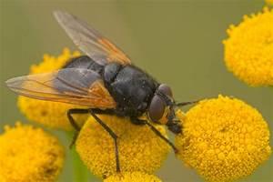 kline insektenkunde fliegen stubenfliege insekten With garten planen mit fliegen zimmerpflanzen bekämpfen
