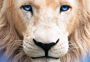 White Lion With Blue Eyes Wallpaper | www.pixshark.com ...