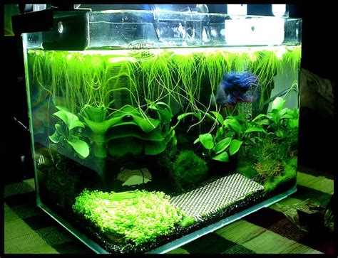 litre planted betta tank aquariums planted betta tank