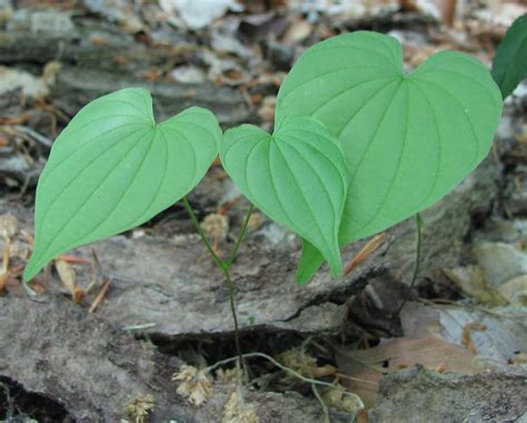 filewild yam  woods young plantsjpg wikimedia commons