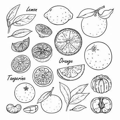 Lemon Orange Fruit Tangerine Isolated Drawing Doodle
