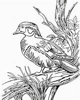 Duck Coloring Wood Pages Hunting Ducks Line Drawing Printable Realistic Clipart Dog Drawings Coon Wild Mallard Getdrawings Hunter Getcolorings sketch template
