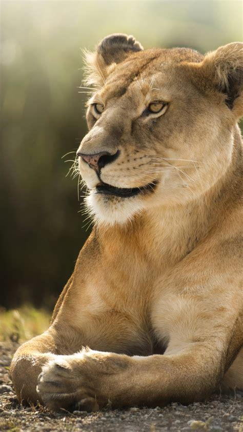 wallpaper lioness african lion wild  animals