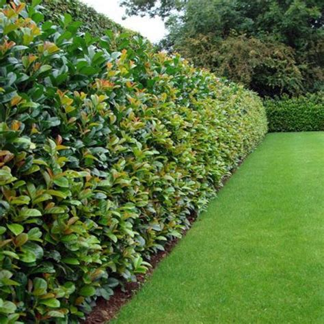 hedge plants five fast growing hedging plants houz buzz