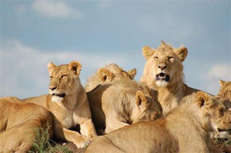 collective nouns  bunch   pride  lions voxy