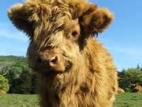 images  shaggy cows  pinterest horns