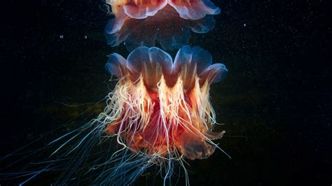 lions mane jellyfish wallpapers hd wallpapers id