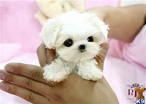 Pin Baby Teacup Maltese on Pinterest