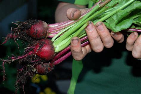 comment cuisiner les betteraves rouges betterave semis culture et récolte