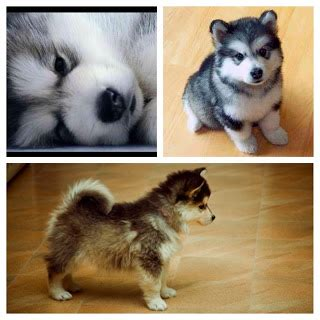 cute dogs pomeranian husky mix