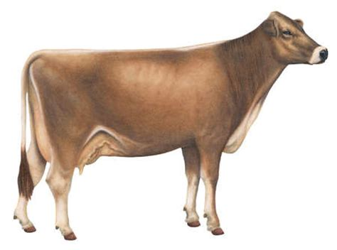 stock illustration brown swiss   cattle breed