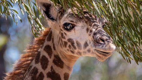 wallpaper giraffe cute animals  animals