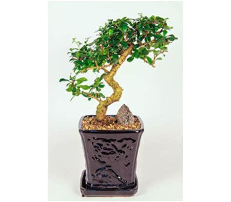 fukien tea bonsai in kingston on pam s flower garden