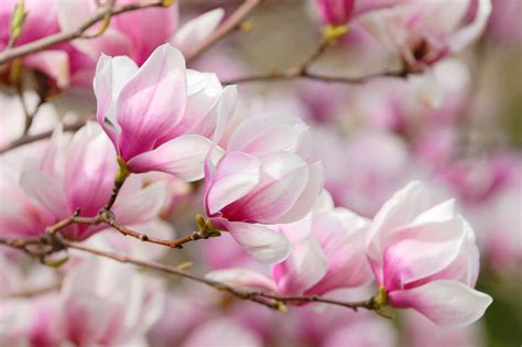 magnolia wallpaper  images