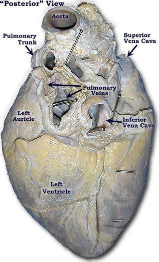 photo   pig heart posterior view anatomy