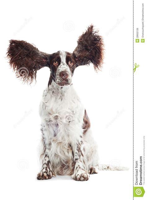 funny springer spaniel dog  ears   air stock