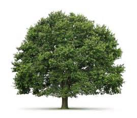facts about trees green sabah