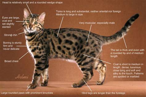 وصف قط البنغال