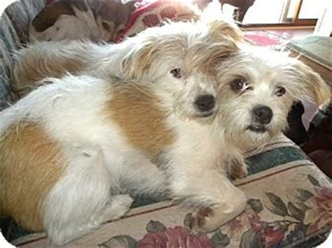 yorkie russell yorkie  jack russell terrier mix facts