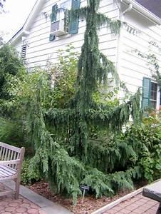 Evergreens  Winter U0026 39 S Gift To The Garden