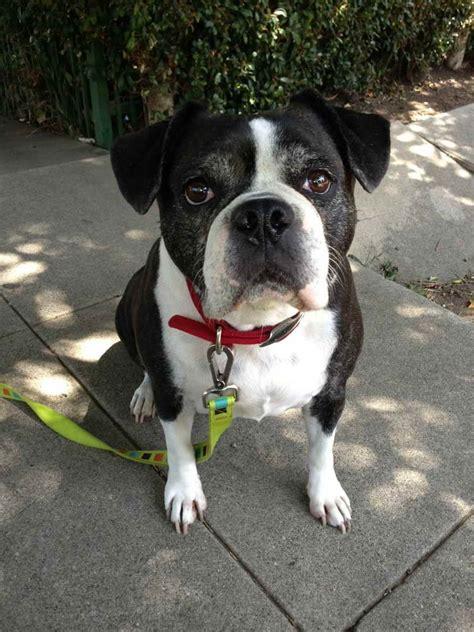 english bulldog boston terrier mix petsidi