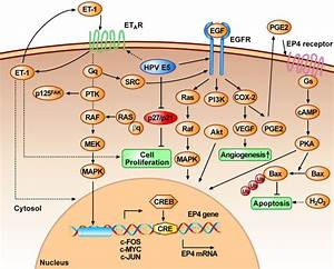 Hpv 16 E5 Enhances Growth Factor Signalling Pathways