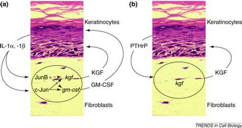 paracrine regulation  keratinocyte proliferation
