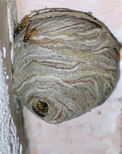 fressen marder wespennester wespennest unterm dach wespennest unterm dach so entfernt