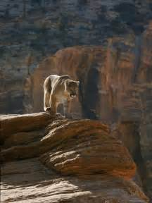Cougars in Utah Zion National Park