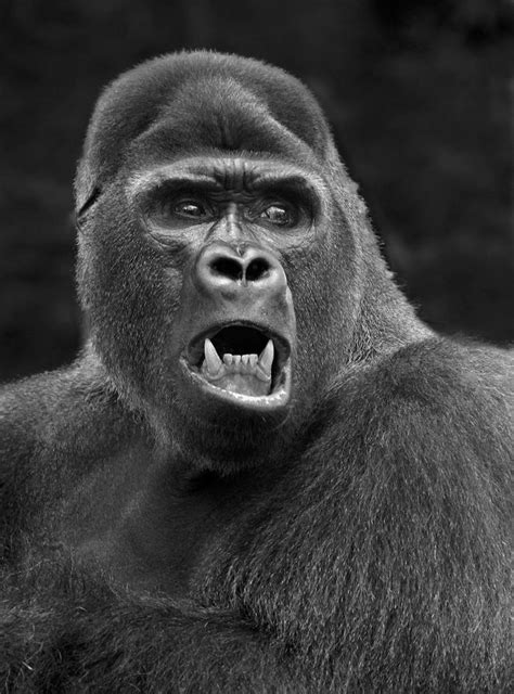 animal mad gorilla  carles justclick