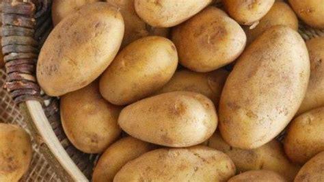 mulai  jangan taruh kentang  kulkas penelitian
