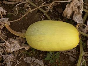 How to Grow Winter Squash - Harvest to Table
