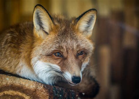 brown fox  green grass  daytime  stock photo