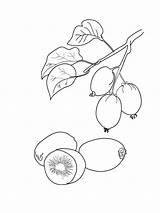 Kiwi Coloring Fruit Fruits Obst Ausmalbilder Printable Colors Malvorlagen Ausdrucken Kostenlos Zum sketch template
