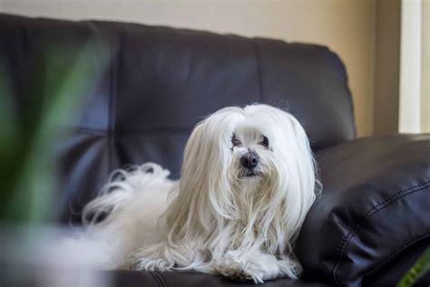 top  maltese haircut styles    dog people  rovercom