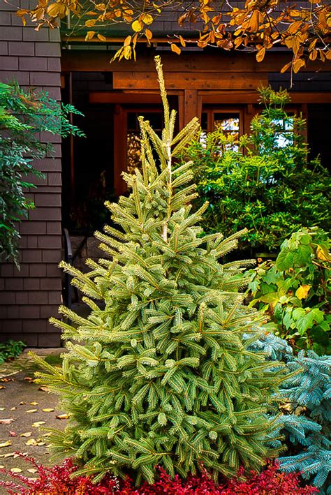 black hills spruce trees  sale  tree center