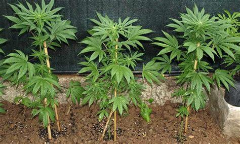 Outdoor Marijuana Growing For Beginners • High Times