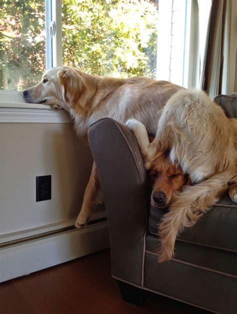 funny dogs    window  sitting