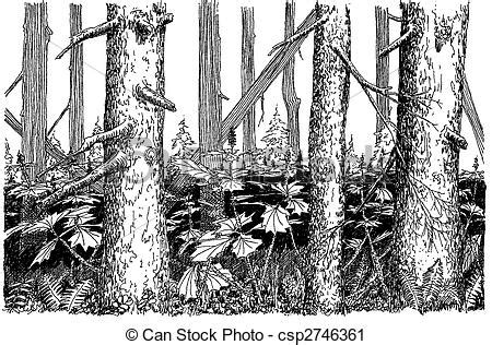 spruce woods spruce woods  devils club  alaska