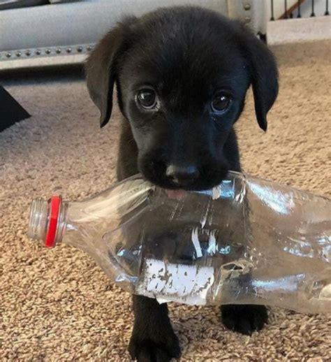 trash aww help puppies animals reddit labrador hii doggo helping comment club