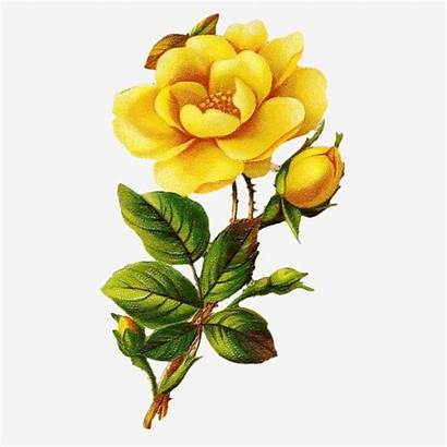 Rose Yellow Clipart Psd Pngtree Watercolor Roses