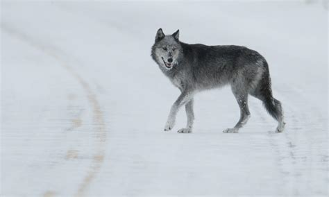 ten interesting facts  gray wolves blog posts wwf