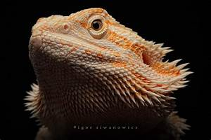 Bearded Dragons- Mammals having unique lifestyle | Bearded ...