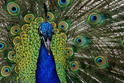 peacock  peacocks  large colorful pheasants